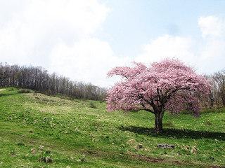 2013.05.14.一本桜(1).jpg