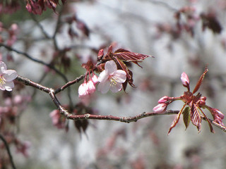 白樺平桜.jpg