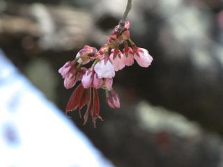 1本桜つぼみ.jpg